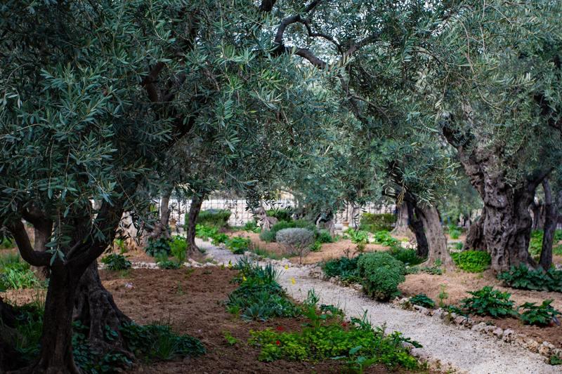 Drewno oliwne